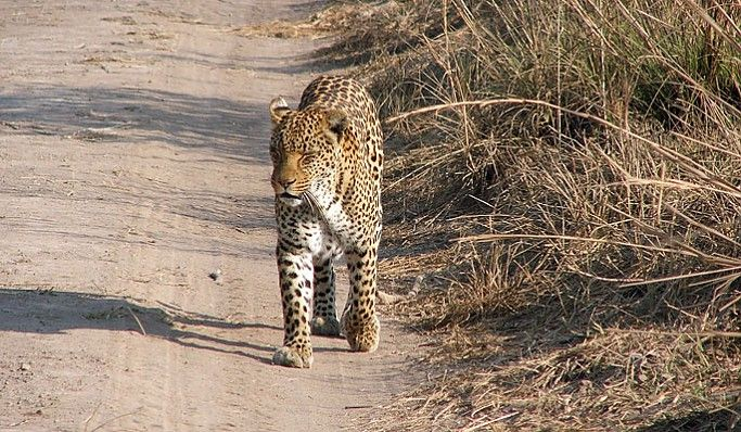 Leopard on the Busanga Plains #Kafue #Zambia