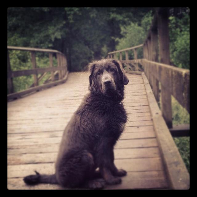 Tibetin mastiff love <3