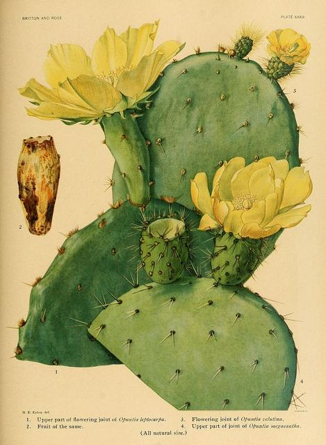wapiti3:  Opuntia Leptocarpa-Opuntia Velutina-Opuntia Megacantha on Flickr. Via Flickr: The Cactaceae: descriptions and illustrations of plants of the cactus family (1919) Author: Britton, Nathaniel Lord, 1859-1934; Rose, J. N. (Joseph Nelson), 1862-1928 Volume: v.1 Publisher: Washington: Carnegie Institution of Washington Year: 1919-1923. Language: English Digitizing sponsor: The LuEsther T Mertz Library, the New York Botanical Garden Book contributor: The LuEsther T Mertz Library,