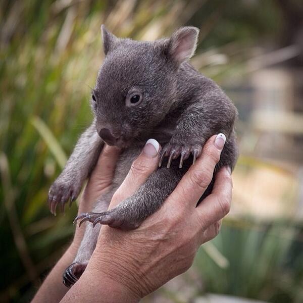 Meet Sam the baby wombat at Bonorong Wildlife Sanctuary in Tasmania's south. #wombat #tasmania #discovertasmania  Image Credit: Graham Michael Freeman