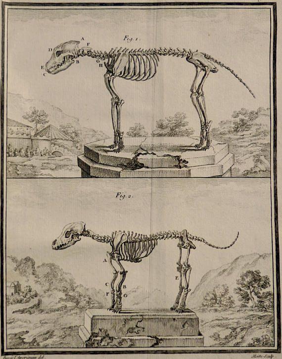 1755.Antique print.Natural History of Buffon.Steel