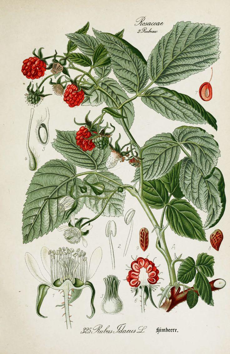 american-raspberry-rubus-idaeus-botanical-illustration-from-flora-of-germany-circa-1903.jpg (2500×3852) (tavla?)
