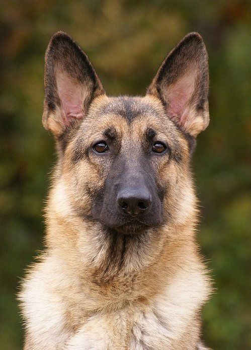 Sable German Shepherd Dog, I love German Shepherds for their loyalty and intelligence