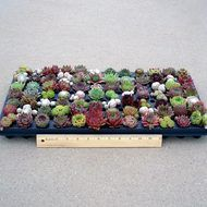 Sempervivum (Hens and Chicks) Plug Tray Assorted Full (84) - Typical Summer Colors and Sizes