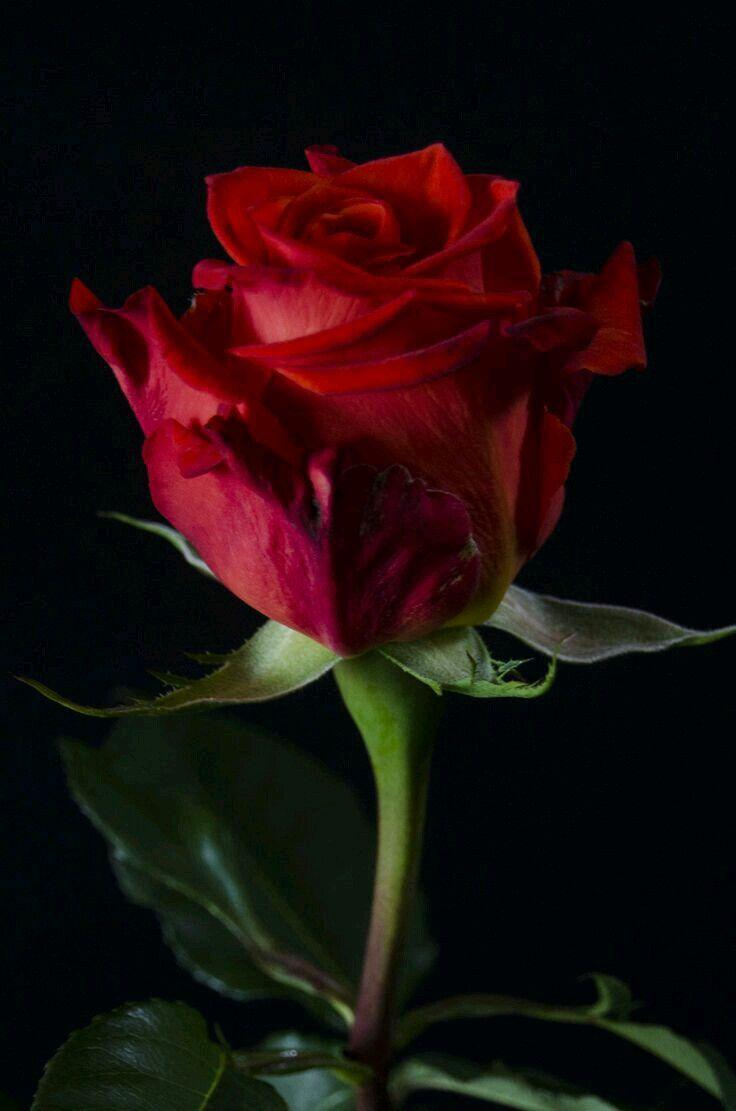 25 best ideas about rose wallpaper on pinterest iphone - Rose screensaver ...