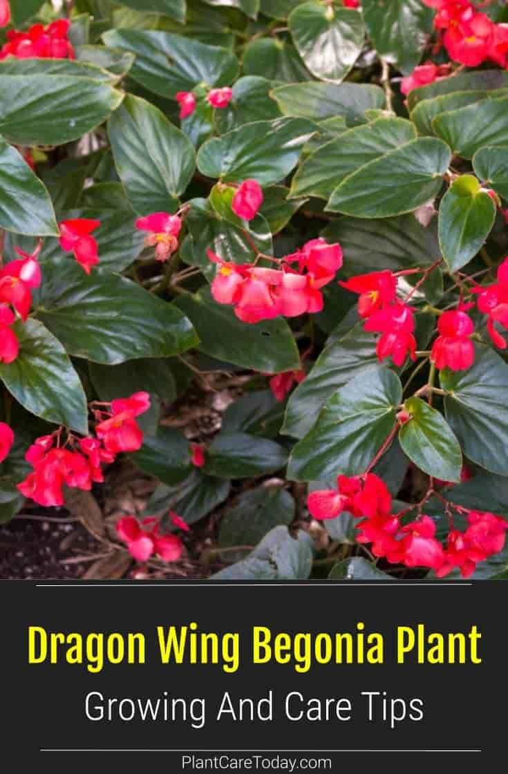 Dragon Wing Begonia Plant Growing And Care Tips Begonia Plants Begonia Dragon
