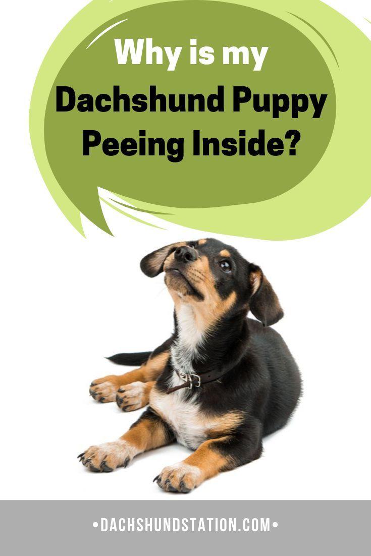 6 Easy Tips For Potty Training Your Dachshund Dachshund Big Dog