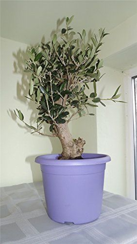 Vibrant lavander trendy planter with thick stem olive tree - For early birds delivery in first week of december or before at your request. Gifts for her, gifts for him, gifts for mum, gift for dad, gift for aunty, gift for uncle, gift for grandad, gift for nan, gift for brother, gift for sister, gift for friend Best4garden http://www.amazon.co.uk/dp/B00OLUMSQY/ref=cm_sw_r_pi_dp_IMvDub0QFP2Z9