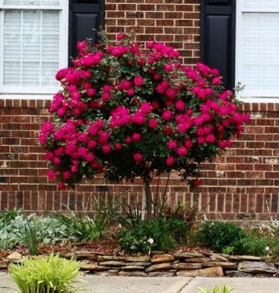 The Rose Tree that Revolutionized the Gardening Industry   - Knockout Rose Trees are famous for... • Long-lasting, bright blooms • 9 months of eye-popping color • Low-maintenance- they're so easy to grow! • The only rose tree recommended for container planting  Bright Roses Command Attention... 9 Months a Year Knockout Roses...