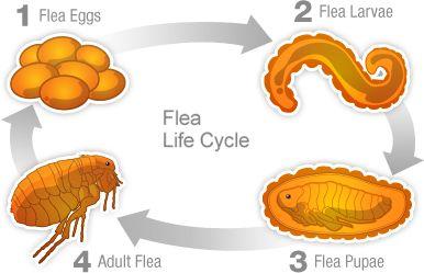 Fleas & Ticks   Life Cycles & Identification   FRONTLINE® Plus