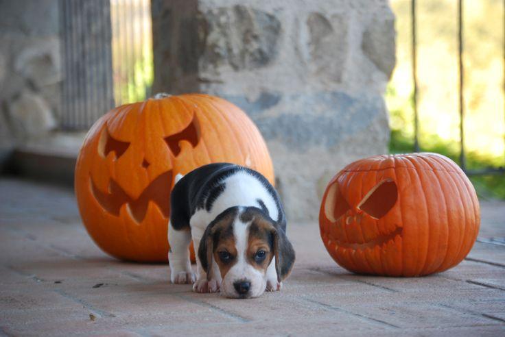 #beagle #minibeagle #poketbeagle #beaglepuppy #beaglepuppies #halloween