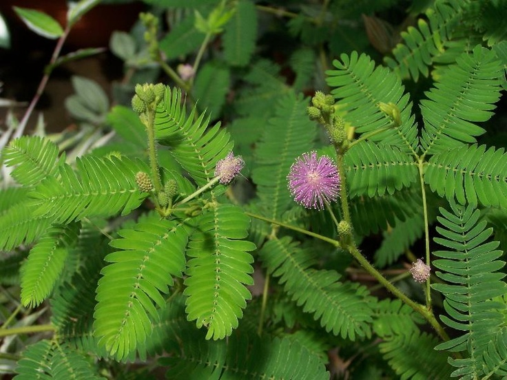 Mimosa pudica - Sensitive Plant  - The Sensitive Plant has fine leaflets that collapse downward when touched and reopen in about an hour, blooms are pink puffs. The Mimosa pudica is a perennial but is often used as an annual in gardens. They get 1' high and prefer full sun.