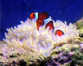 sebae anemone and clownfish relationship