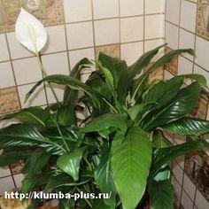 Спатифиллум » Выращивание овощей и цветов, уход за комнатными растениями и цветами, советы садовода