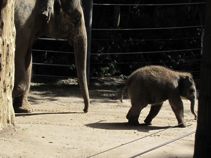 Melbourne Zoo - baby elephant so cute