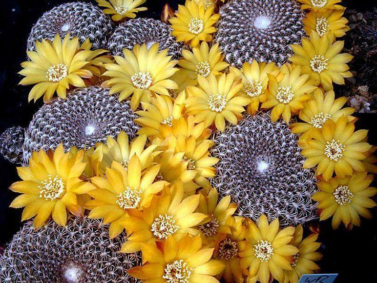 Sulcorebutia arenacea