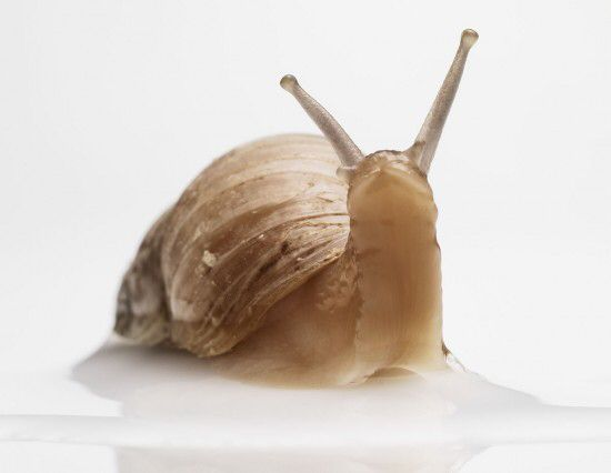 Enrich with snail secretion filtrate from Chilean Helix aspersa Muller