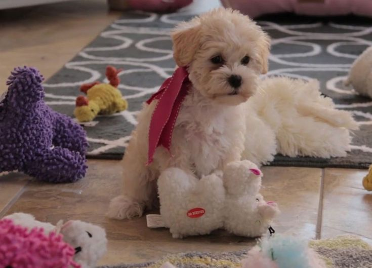 Buy cheap goldendoodle puppies for sale near me puppies