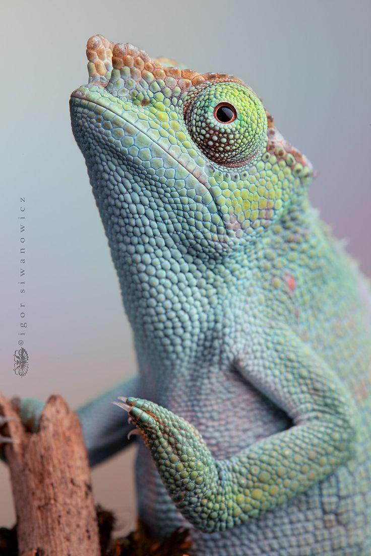 lavender by *Blepharopsis