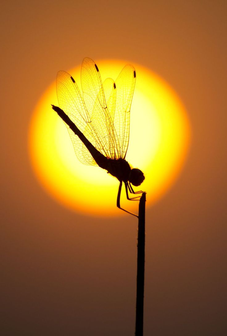 FIRE QUEEN Photo by Santanu Nag -- National Geographic Your Shot / dragonfly silhouette