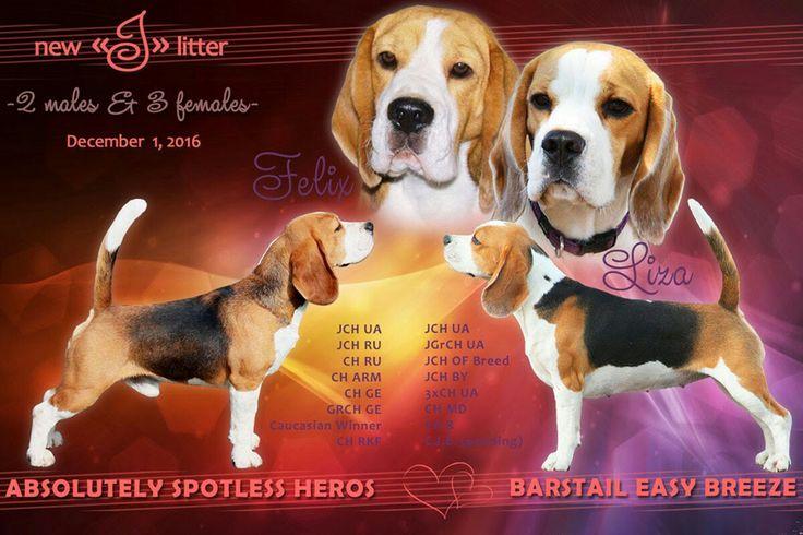 """Щенки бигля,  помет """"J""""  #beagle #barstail #beaglepuppies #бигль #щенкибигля #питомникбиглей #бигливукраине #бигльвкиеве #питомникБарстэйл"""