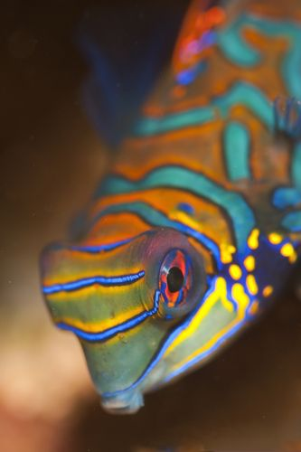 The Mandarinfish or Mandarin dragonet (Synchiropus splendidus), is a small, brightly colored member of the dragonet family. The mandarinfish is native to the Pacific, ranging approximately from the Ryukyu Islands south to Australia.