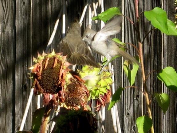 in my own backyard - tufted titmice harvesting sunflowersTufted Titmouse, Tufted Titmic, Harvest Sunflowers, Titmic Harvest