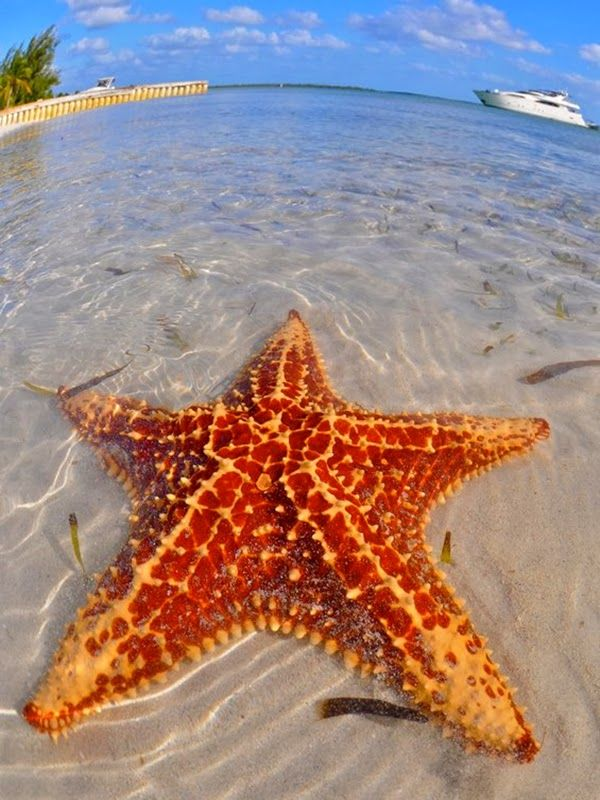 Big Beautiful Starfish in Starfish Beach, Water Cay Cayman Islands