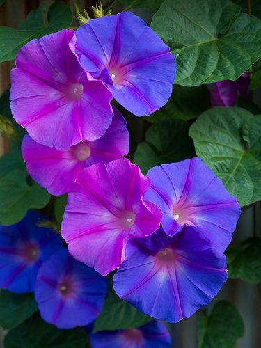 Morning Glory - LoVe  ThEsE!! Easy to grow but don't like to be disturbed once they come up....Will grow on anything and take over!! be careful lol i pick my blooms off everyday it keeps the seeds from developing... :)