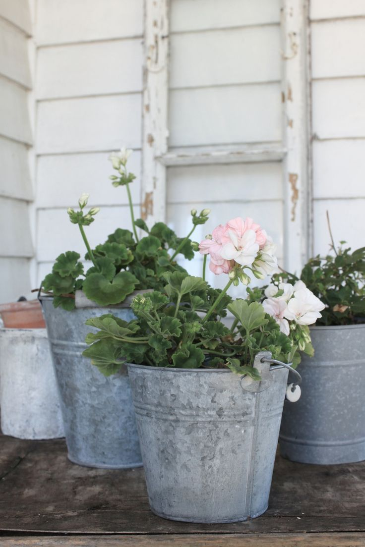 pink geraniums in galvanized steel pails, outside weatherboard building, like the summerhouse.