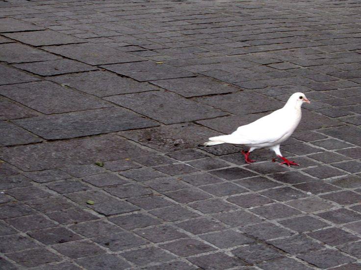 https://flic.kr/p/UFR4nj   Pigeon   Seen in Plaza Civica, San Miguel de Allende, Mexico.