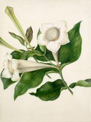 Margaret Meen -- Portlandia grandiflora -- Margaret Meen -- Artists -- RHS Prints