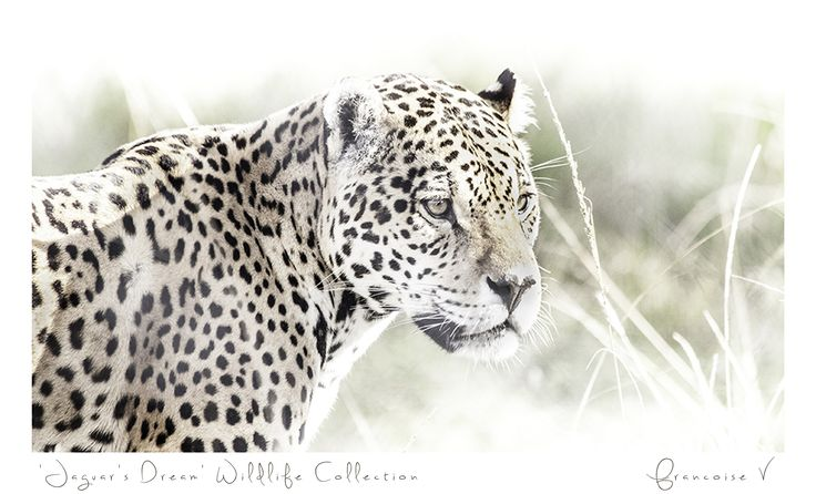 """Jaquars Dream"" {Wildlife Collection} by Francoise V"