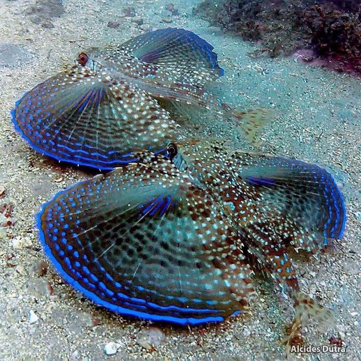 Mantas marinas.. These are flying gunards, an amazing bottom dwelling fish, so beautiful.