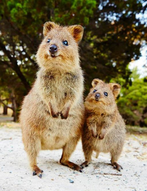 Two very happy quokkas.