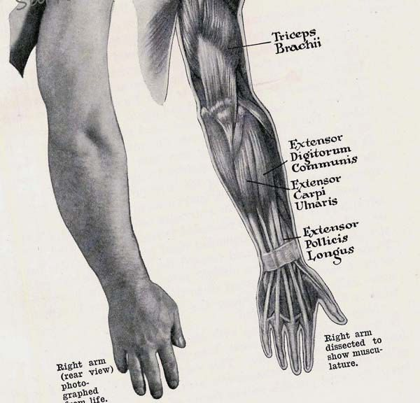 Arm & Hand Muscles Posterior  Muscular System Human Anatomy Chart 1930s. $18.89, via Etsy.