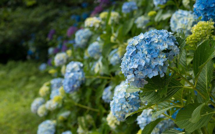 природа, цветы, цветущие кустарники, синяя гортензия