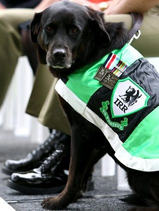 A war hero! Sarbi, an explosive detection dog for the Australian Army, received RSPCAs most prestigious animal bravery award the Purple Cross, at a ceremony at the Australian War Memorial in Canberra. Picture: Kym Smith Read more about Sabri at this link: http://www.smh.com.au/environment/animals/welcome-home-sarbi-trusty-dog-of-war-20110110-19l86.html