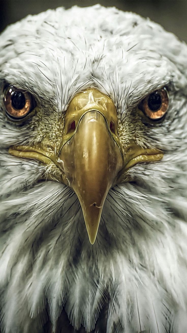 Bald eagle bird wallpaper for #Iphone & #Android for wallzapp.com