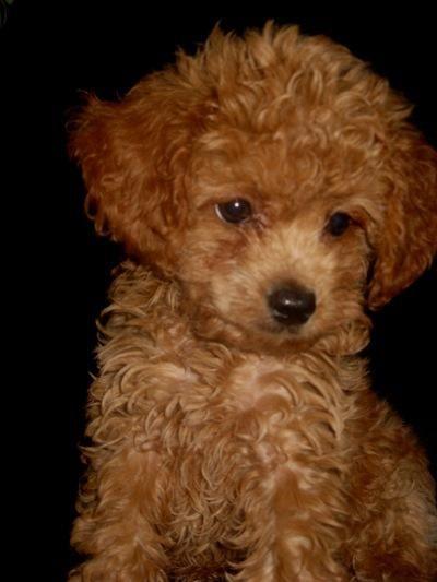 Tea Cup Poodle Puppy. He looks like a lil teddy bear. LOVE.