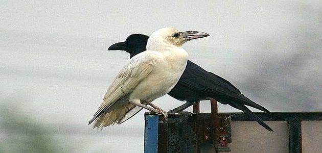 تفسير رؤية الغراب في المنام بالتفصيل Animals Crow Bird