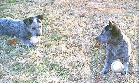 Stumpy Tail Australian Cattle Dog   ... Australian Stumpy Tail Cattle Dog)   Все породы собак в