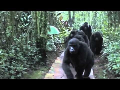 An amazing chance encounter with a troop of wild mountain gorillas near Bwindi National Park, Uganda    Eine erstaunliche zufällige Begegnung mit einem Trupp wilder Berggorillas in der Nähe Bwindi National Park, Uganda