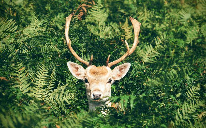 Download imagens Veado, floresta, os habitantes da floresta, chifres de cervos, animais da floresta, fetos