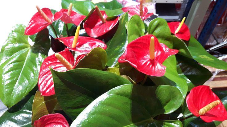 Las calas son las mejores flores para alegrar un día gris, ¡color a tope!