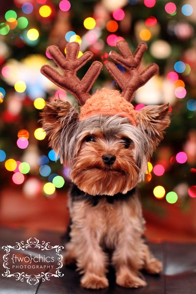 Rein - Dog   #Reindeer #DogChristmas Cards, Dogs, Yorkie, Yorkshire Terriers, Christmas Gift, Baby Puppies, Christmas Photos, Animal, The Holiday