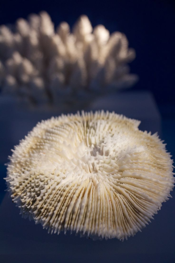 Coral Reefs: Secret Cities of the Sea. Natural History Museum, London 2015. Mesomorphic reef coral (reside in dimly lit waters 30-150 metres deep). #CoralReefs