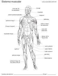 Resultado de imagen para sistema muscular dibujo blanco y negro