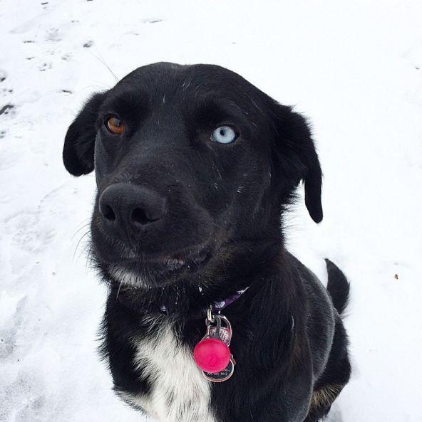 Yin-yang eyes at Kilcona Park Dog Club - Winnipeg, MB - Angus Off-Leash #dogs #puppies #cutedogs #dogparks #winnipeg #manitoba #angusoffleash