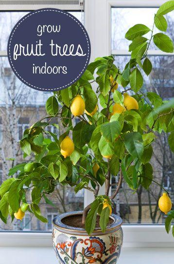 216 best Citrus trees images on Pinterest   Citrus trees, Kumquat ...